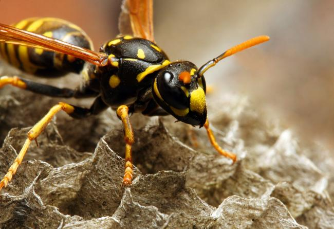 The fire service has asked residents to stop calling 999 for wasp nests.