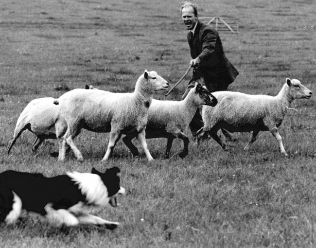 TODAY'S picture from the archive of the Worcester News dates back to July 9173 and was taken at the Mathon Sheepdog Trials, the annual event held at Upper House Farm at which shepherds competed to see whose dog could best control the sheep. The compet
