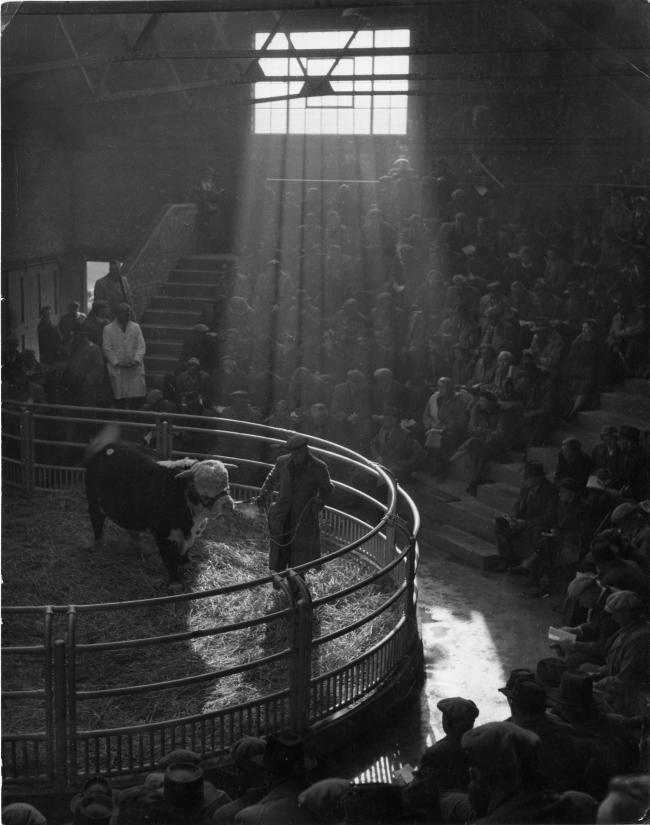 A Hereford bull is paraded round the ring at Hereford Livestock Market in January 1963. Picture: Derek Evans, Herefordshire Life Through A Lens
