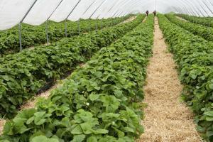 Plans have been submitted for three polytunnels near Ledbury for a new organic fruit and vegetable business. Stock photo.