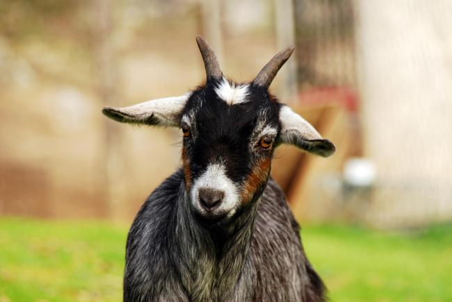 Pet goat stolen from Herefordshire school | Hereford Times