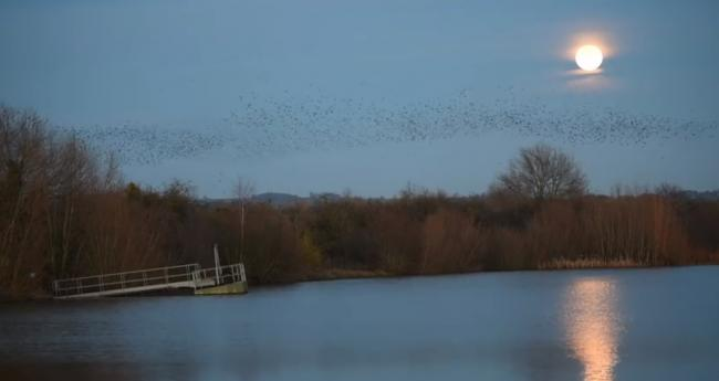 Starling murmuration at Wellington gravel pits near Hereford. Picture: Paul Lloyd