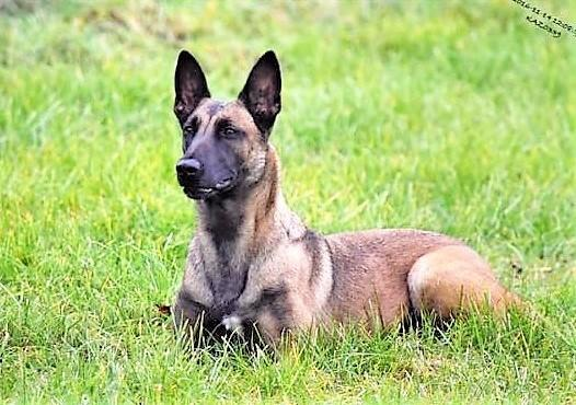 West Mercia Police dog Echo has died. Picture: West Mercia Police
