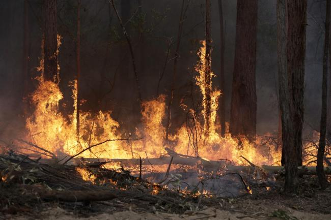 Flames from a controlled fire burn up tree trunks as firefighters work at building a containment line at a wildfire near Bodalla, Australia, Sunday, Jan. 12, 2020. (AP Photo/Rick Rycroft).