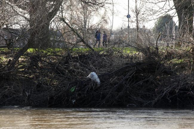 A dead animal cannot be removed from the river bank in Hereford. Picture: Rob Davies