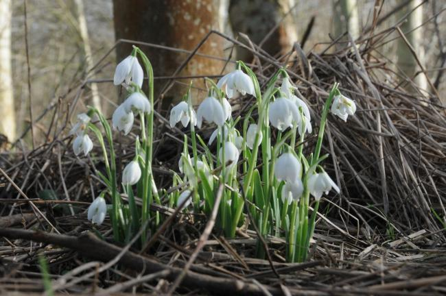 Snowdrops are making a strong show