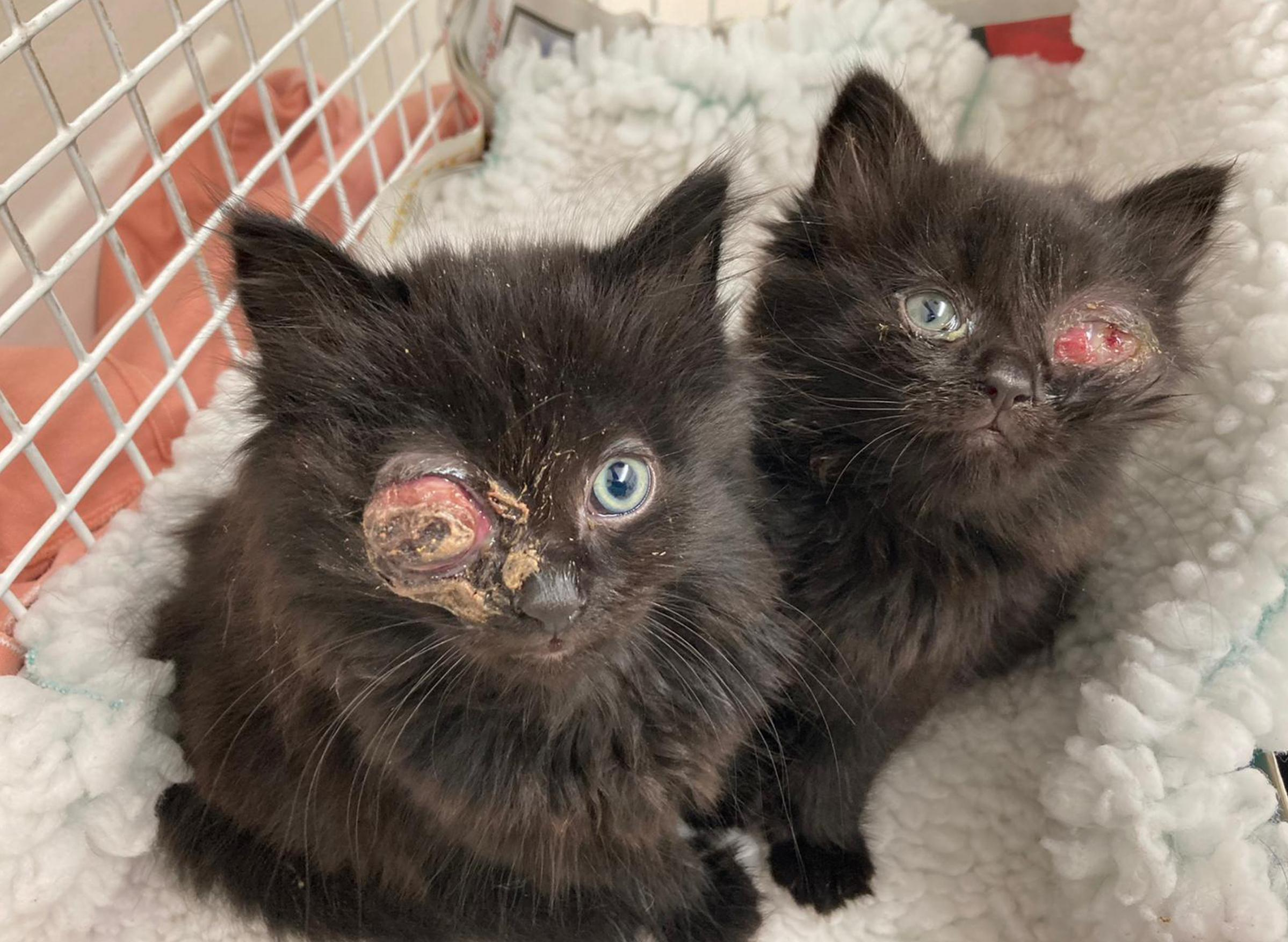 Tiny Kittens Found Tied In A Plastic Bag With Horrific Injuries Hereford Times