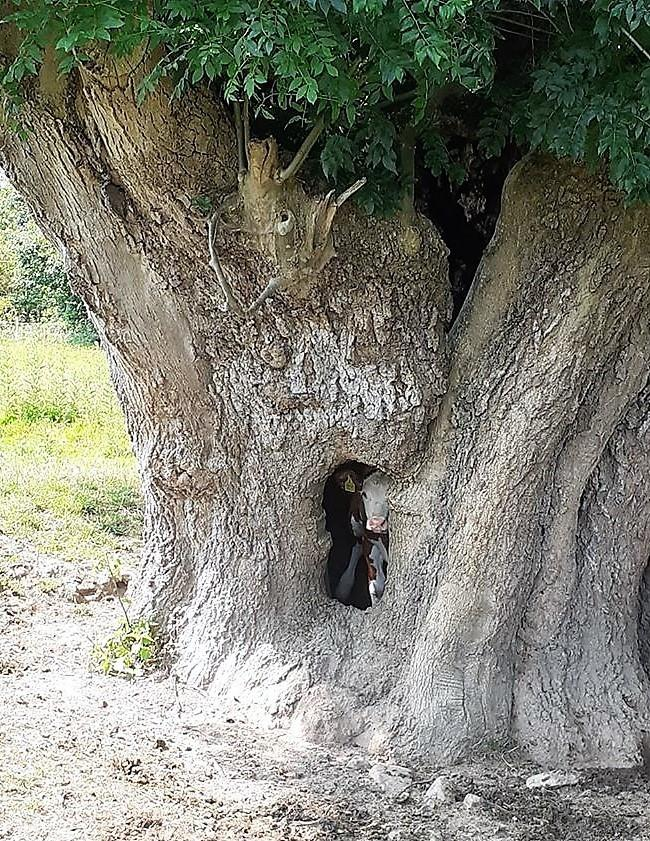 Calf in the hollow of an ash tree at Preston on Wye, near Hereford. Picture by Philip Price