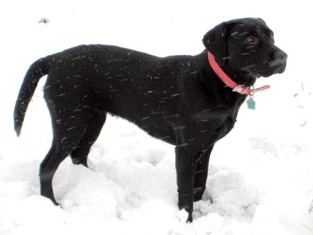Black labrador Molly from Belmont has been enjoying the snow.