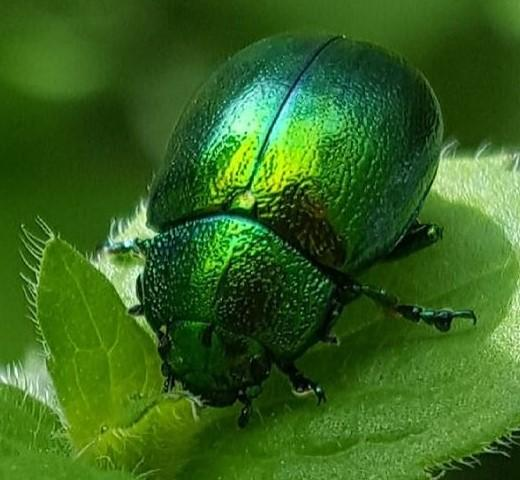 Mint leaf beetle by Nicky Fraser
