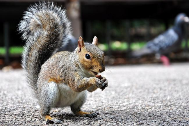 The British Pest Control Association (BPCA) has warned of the damage squirrels can do