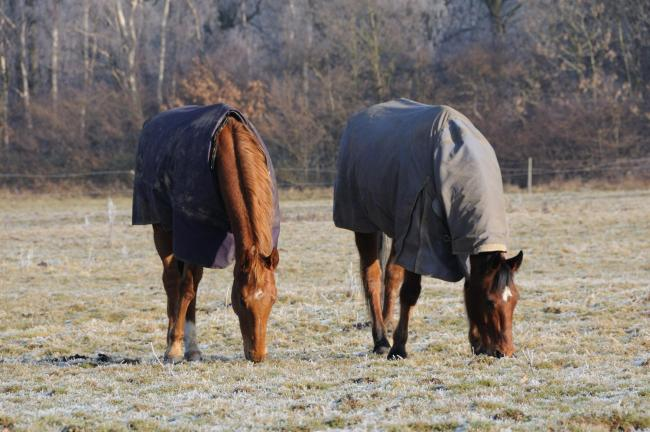 Rugged horses in a field on a frosty morning.