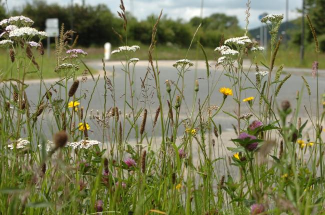 An overgrown grass verge on the A4103 Roman Road at Stretton Sugwas which contains a number of species of wild flowers..