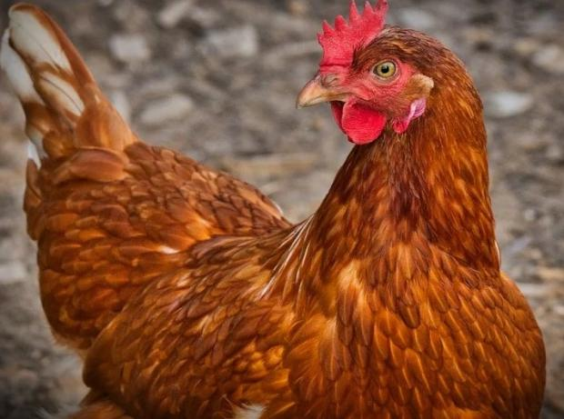 Hereford Times: Thousands of chickens are reportedly killed or injured in the crash