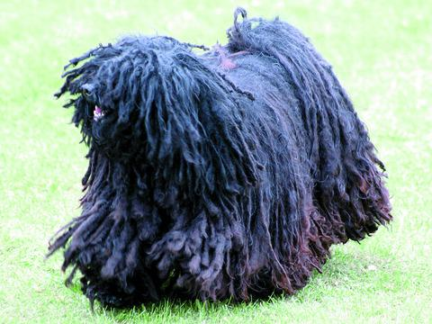 Martha the Hungarian Puli