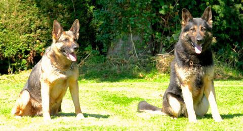 German shepherd dogs Kai and Tilly star in The Dark Knight Rises