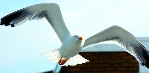 Nuisance gulls cause problems for Hereford companies