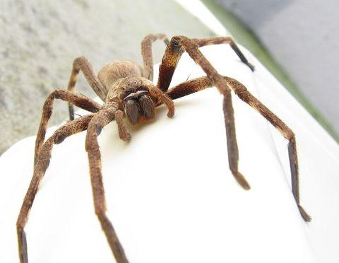 The huntsman spider is native to Australia