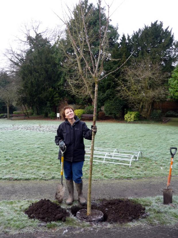 Friends volunteer Mo Burns planting a cherry tree