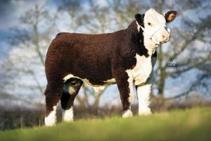Christmas primestock show and sale at Ross auction centre set to roll on Monday December 1