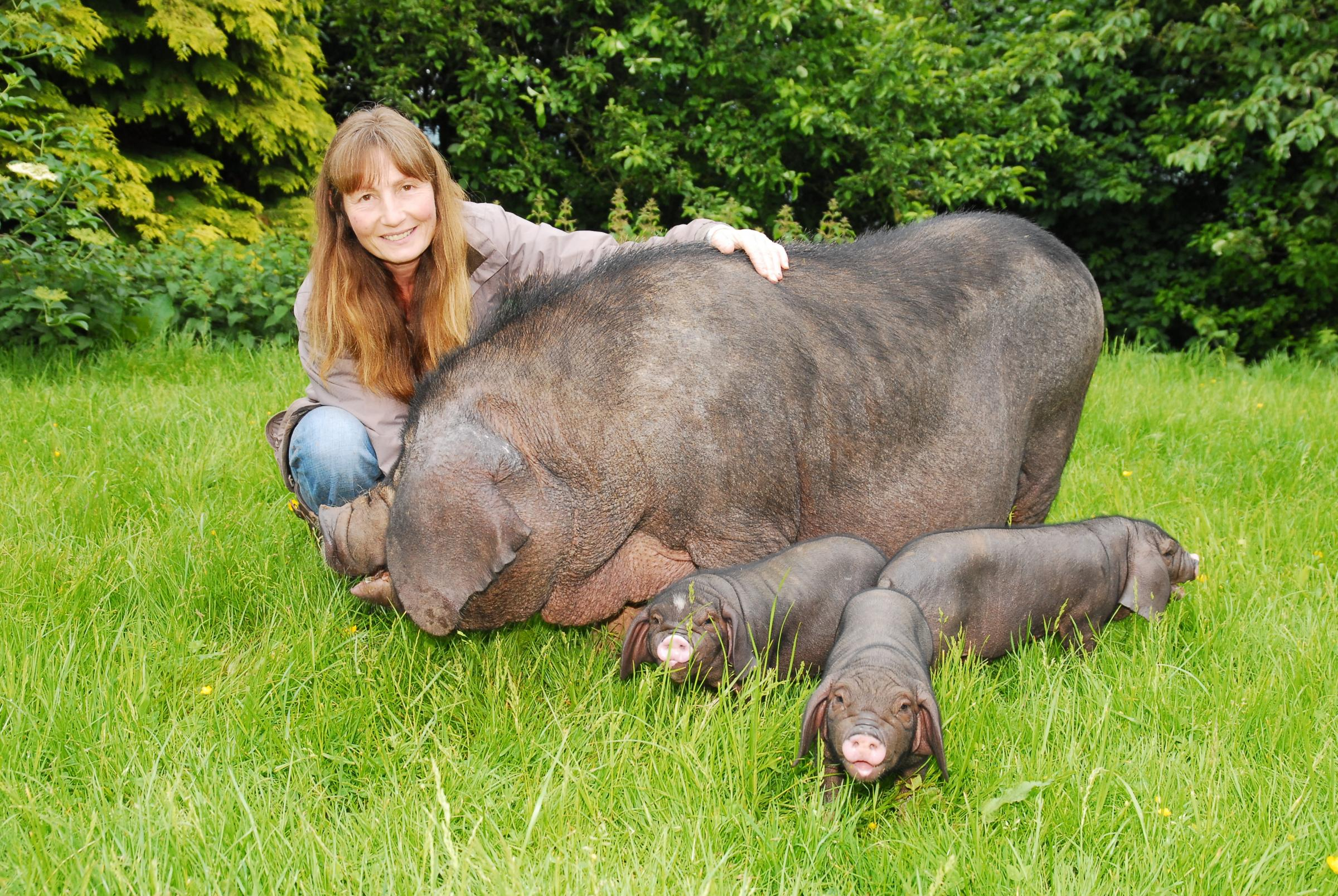 Wendy Scudamore with Mae the Chinese Meishan pig and litter of three piglets. Picture by David Griffiths Photography.