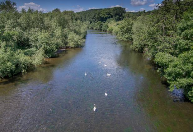 Hereford Times: Swans on THe River Wye at Bridge Sollars.