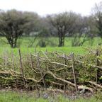Hereford Times: Image of layered hedge in spring, by countryside farm field (10149067)