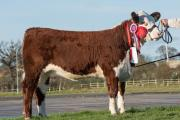 Grand Female Champion, Greenyards 1 Jubilee, from PC & AJ Allman, Herefordshire
