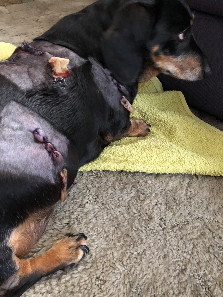 Image of: Maternity Milo Recovering At Home From His Injuries Hereford Times Dog Owner Speaks Out After Sausage Dog Attacked By Huskies