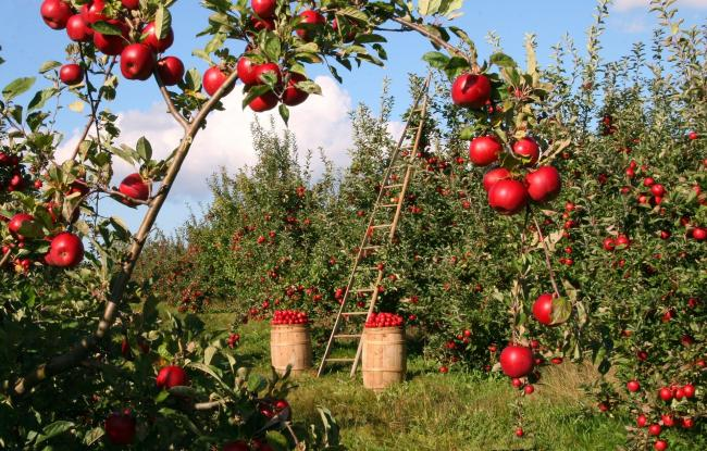 Apple orchard. File photo