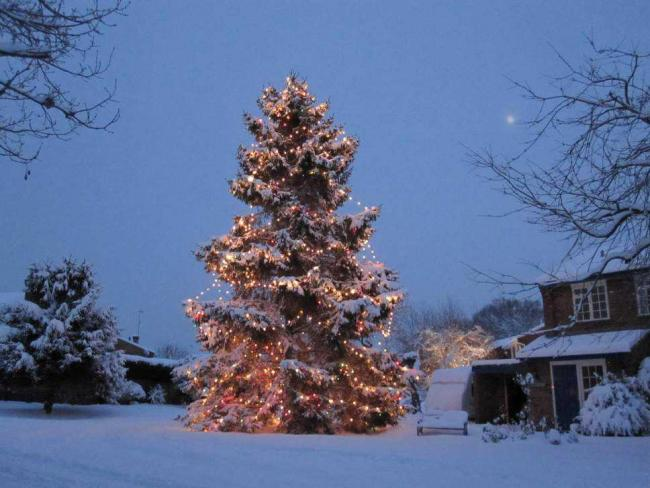 tall the rowlands christmas tree is now 40 years old - Old Christmas Tree